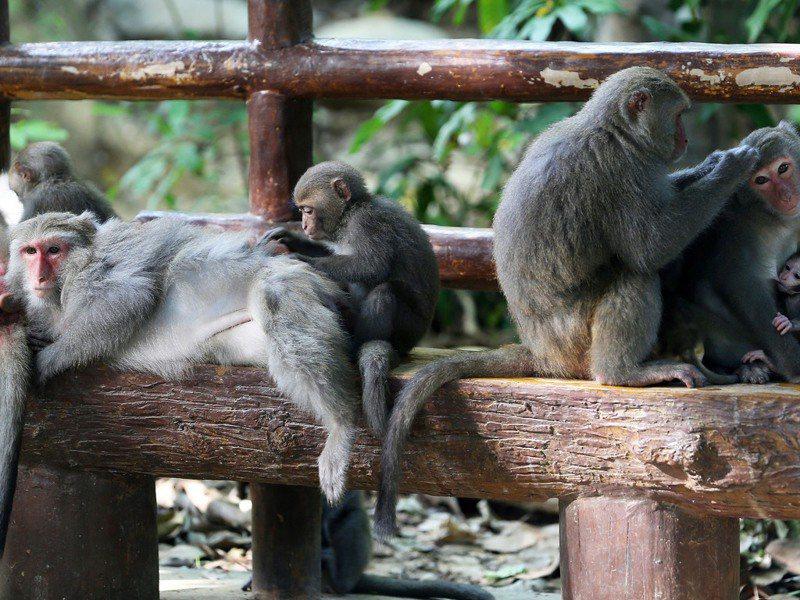 專家指出,獼猴是屬群體生活動物,被人類飼養過的獼猴在野外難以生存,看到小彌猴要請專業動保單位安置,不要直接帶回家私養。圖/聯合報系資料照片