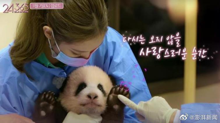 BLACKPINK與熊貓寶寶接觸惹議。圖/擷自微博