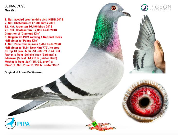 比利時賽鴿「New Kim」將成為有史以來最貴賽鴿,預計會拍出近120萬英鎊價格。圖/截自PIPA網站