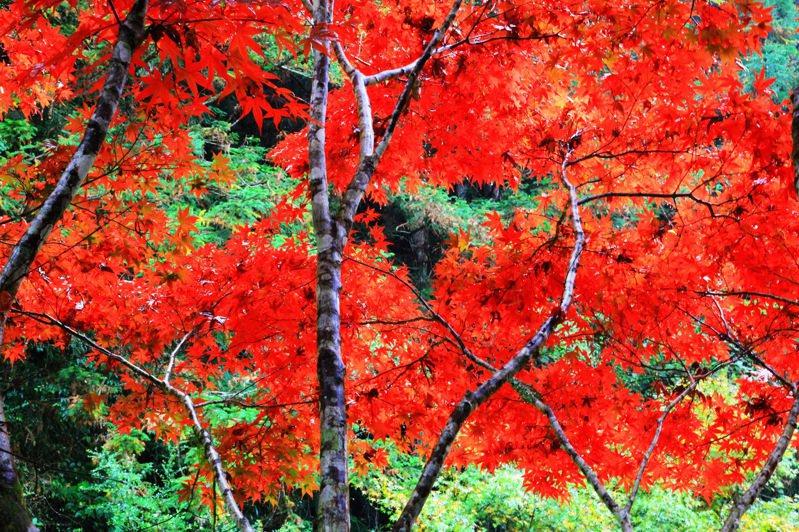 杉林溪做為全台第一波紅葉景點,變葉植物包括青楓、楓香、水杉、紫葉槭,讓園區山林多姿多彩。圖/杉林溪提供