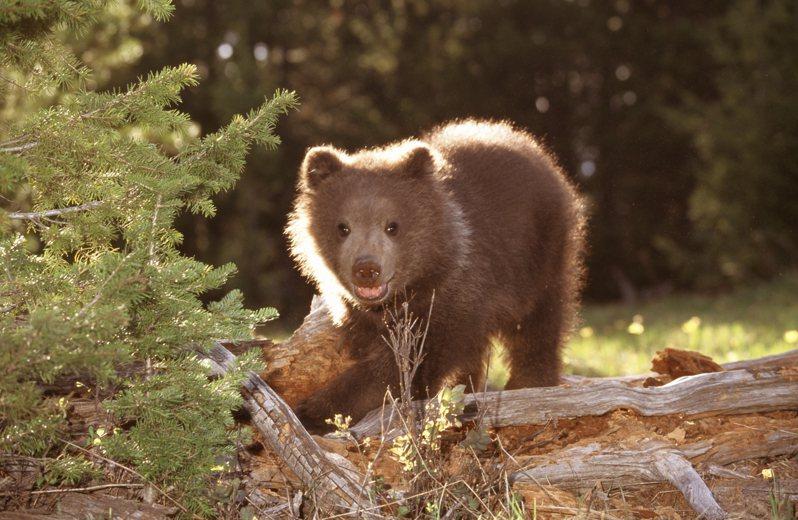 熊示意圖。 Ingimage