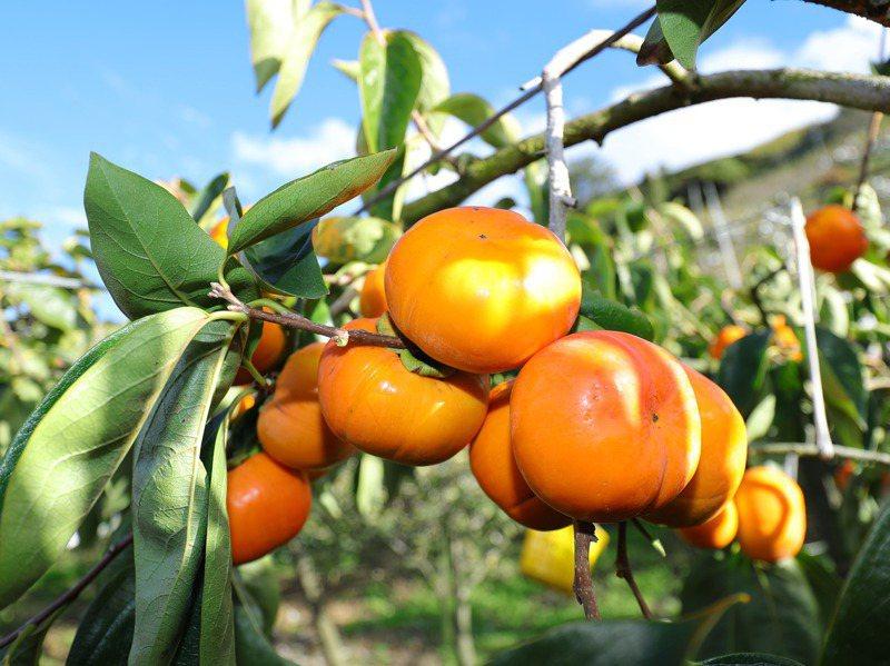 台中是甜柿主要產區,早期海拔1800公尺的梨山氣溫低,甜柿吃起來有澀味,隨著氣候暖化,梨山甜柿已成為高品質保證。圖/台中市政府提供