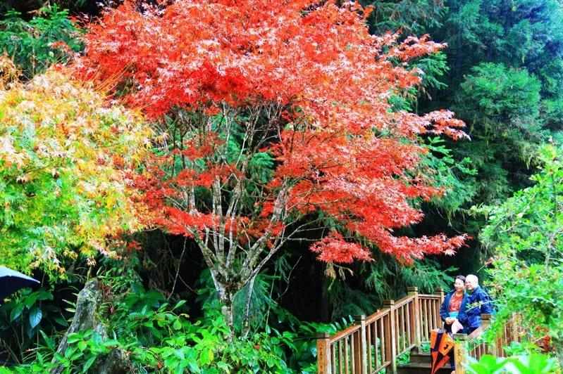 杉林溪做為全台第一波紅葉景點,變葉植物包括青楓、楓香、水杉、紫葉槭,讓園區山林多...
