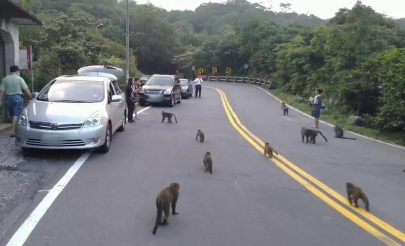 近期又有民眾在馬槽下七股一帶餵食台灣獼猴,導致猴群聚集在車流量大的陽金公路上逗留,造成人猴干擾衝突。圖/陽管處提供
