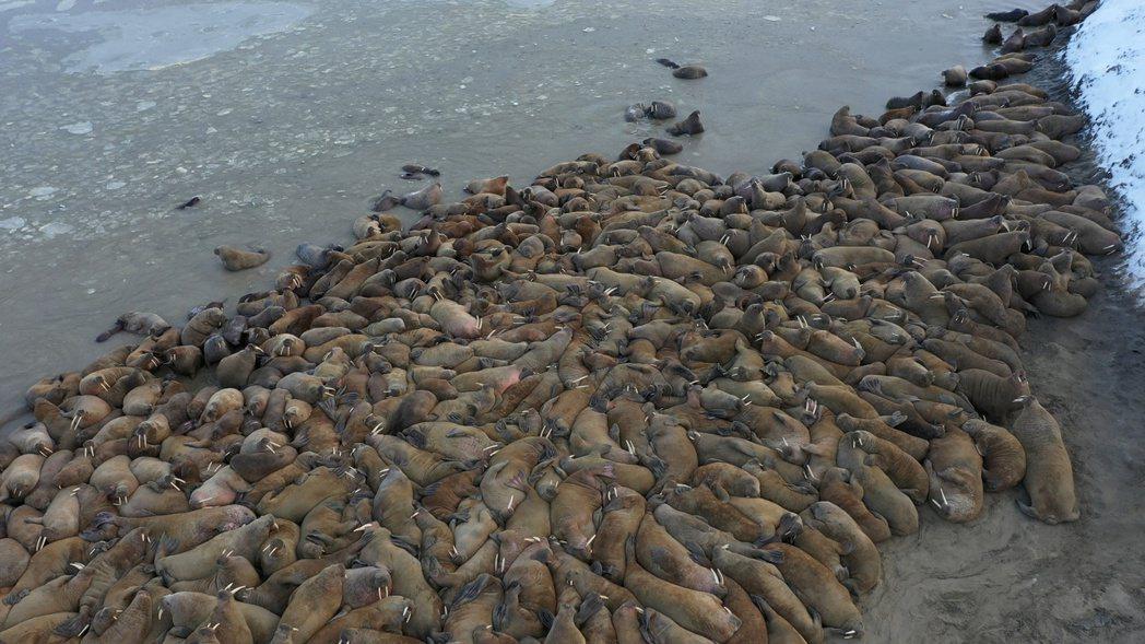 俄羅斯科學家近期在北部喀拉海(Kara Sea)沿岸,發現一大群大西洋海象群聚在...