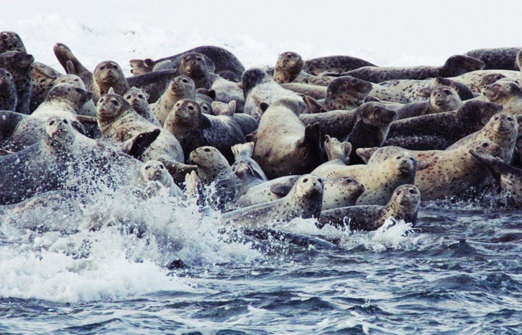 群聚拔海港的斑海豹。 圖/日本國土交通省北海道開發局