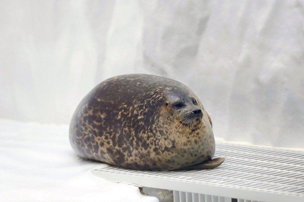 圖/大阪海遊館的明星海豹Yuki(環斑海豹)