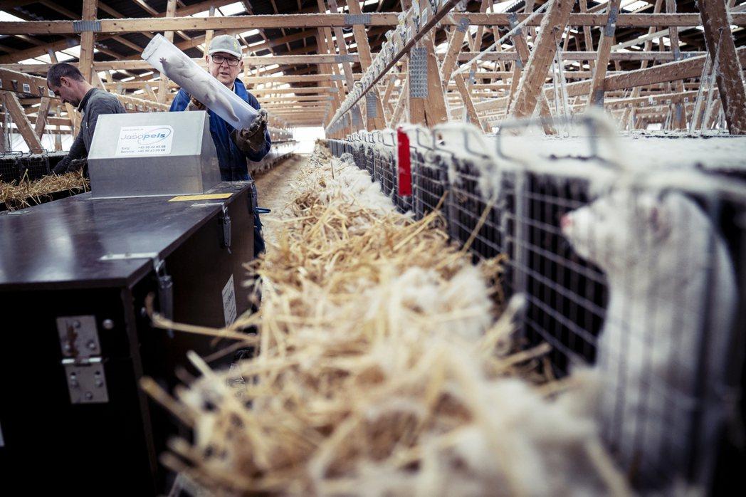 「農忙時節,根本不可能有人有餘力『一頭一頭活剝虐殺』。」圖為丹麥養殖場的取皮過程...
