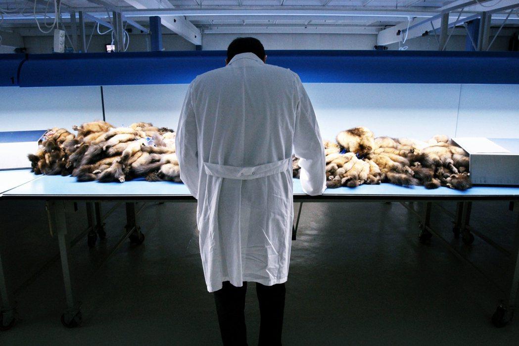在哥本哈根皮草中心估價的中國買家。丹麥疫情與驟然退場所帶來的「國際皮草價格暴漲」...