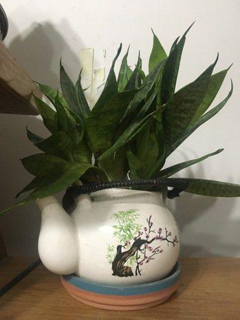 在客廳或房內種植虎尾蘭,不只賞心悅目,也可以分解PM2.5。圖/河馬(高市楠梓)