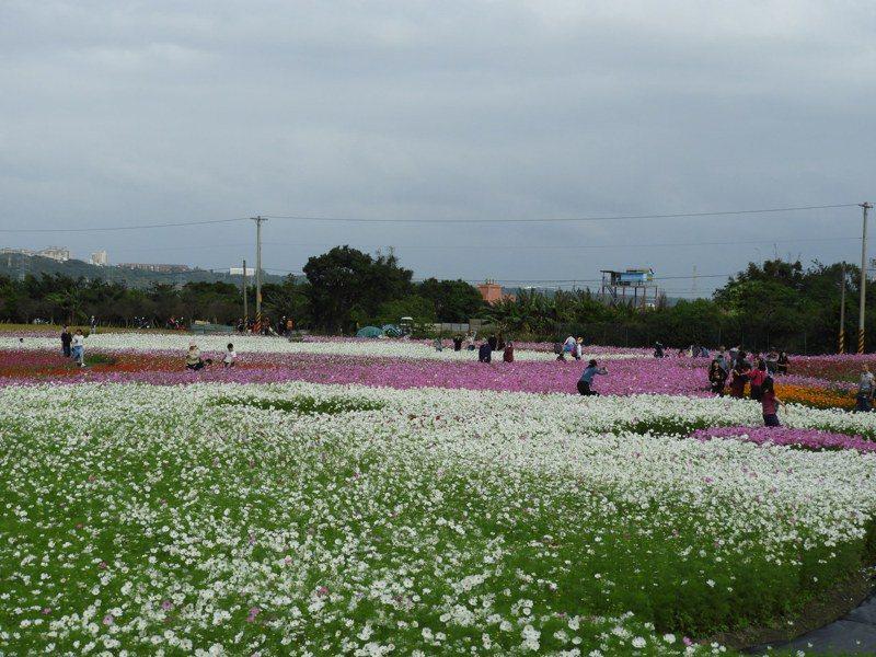 展區面積共8.3公頃,以各色百日草搭配紅、白、粉色大波斯菊的花海呈現。記者高宇震/攝影