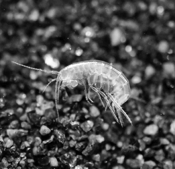 圖5-3  一種可在德國地區的地下水發現的端腳類Niphargus bajuva...