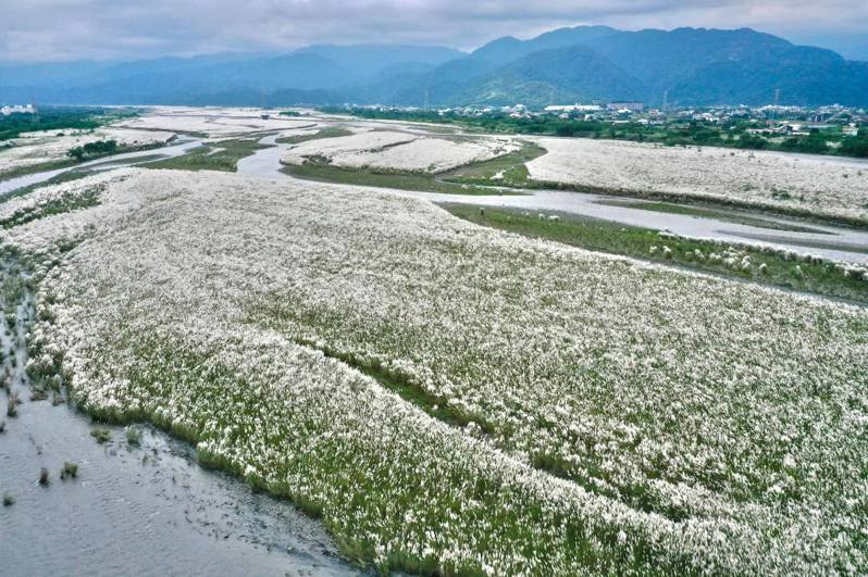 鋪滿蘭陽溪床的甜根子白色穗花,是宜蘭秋冬限定美景,但如此夢幻美景,可不是老天給的禮物,10年前沿岸居民都有吃沙的回憶。圖/蘭陽博物館館長陳碧琳提供