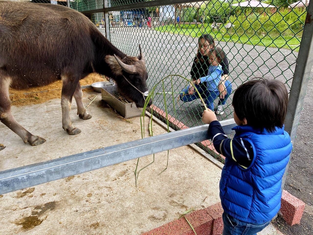 心心農家樂提供遊客免費牧草來餵食溫馴的水牛。 圖/陳威任 攝影
