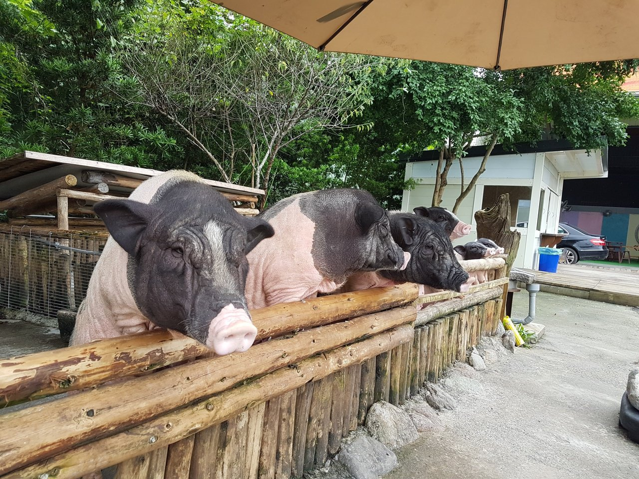 心心農家樂的台柱就是姐姐、妹妹及弟弟這三隻麝香豬。 圖/陳威任 攝影