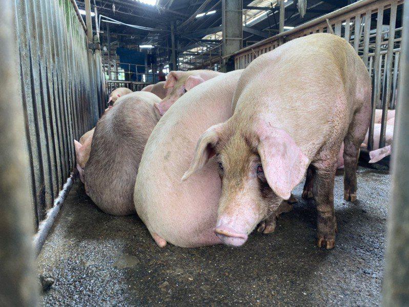 養豬青年聯盟理事長張佑誠表示,就算沒有開放進口萊克多巴胺豬,各國的豬肉也是依舊進口,國內養豬戶相互廝殺「這是很殘忍的事情」。圖/聯合報系資料照片