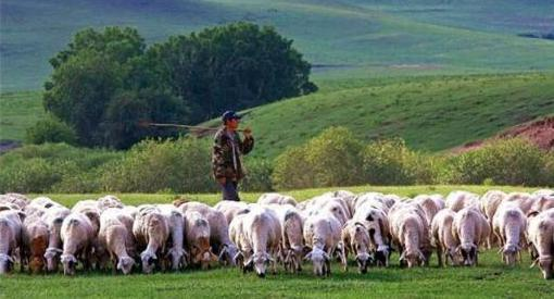 蒙古國贈送中國的3萬隻羊首批4000隻已進入大陸。圖/取自百度