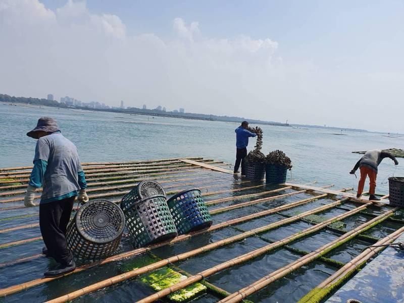 台南市府農業局持續減緩七股潟湖縮小外,未來輔導農民轉向外海養蚵。記者鄭惠仁/攝影