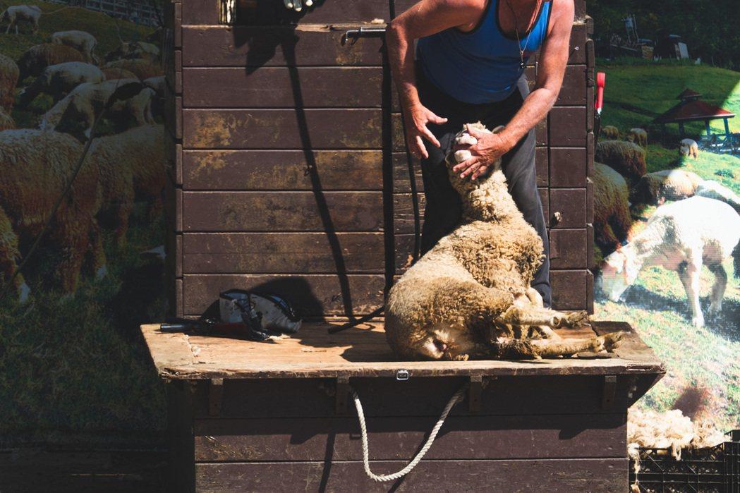 清境農場員工在表演時,反覆將手指插入綿羊的嘴巴。圖片/台灣動物平權促進會提供