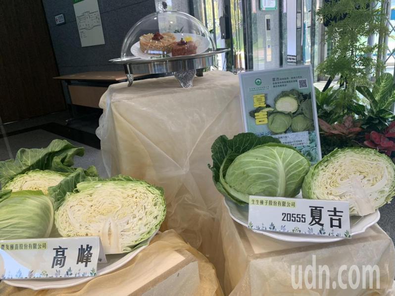 高麗菜再過半個月進入產季,且是最好吃的季節。記者吳淑玲/攝影