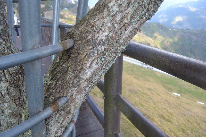南投清境有樹木受鐵框保護,卻因樹幹變粗,鐵桿穿入樹幹的現象。記者鄭惠仁/攝影