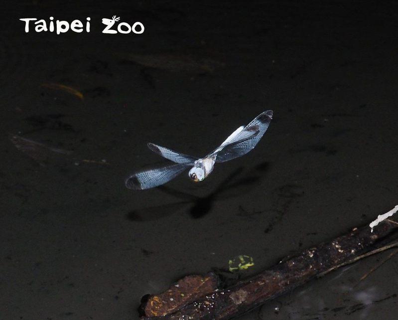 灰影蜻蜓出現的時間光線昏暗,幾乎是在天黑前半小時。圖/胡方碩攝,台北市立動物園提供