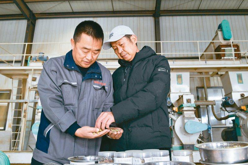 台商周大順(右)在檸條加工廠車間內與同事查看檸條顆粒成品。(新華社)