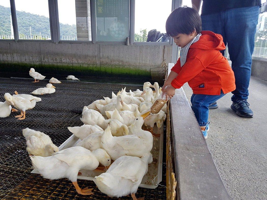 宜蘭甲鳥園可以體驗親手餵鴨子吃飯。 記者陳威任/攝影