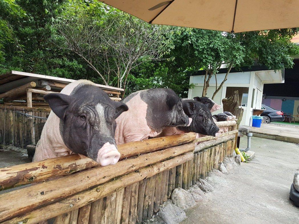 心心農家樂的台柱就是姐姐、妹妹及弟弟這三隻麝香豬。 記者陳威任/攝影