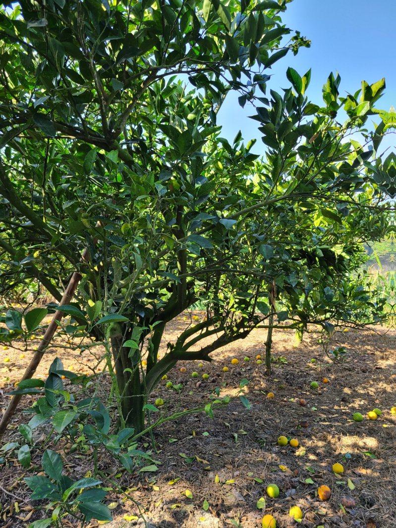 關心官田柳橙蒂腐病,台南市長黃偉哲指示強化果農栽培管理。記者謝進盛/翻攝
