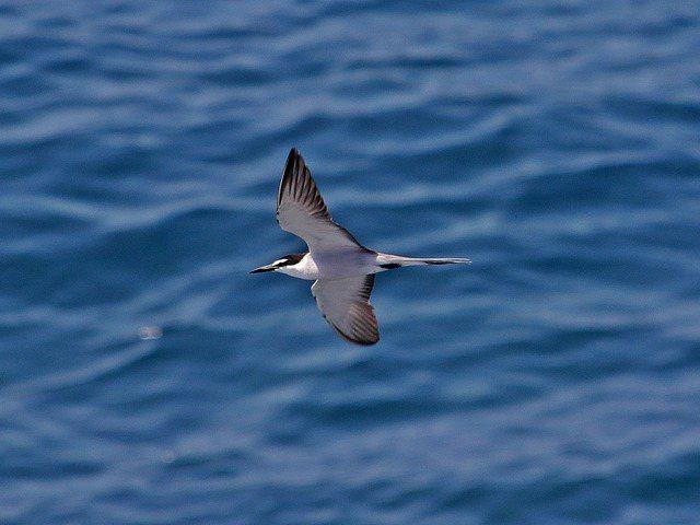 國內第二級珍貴稀有野生動物白眉燕鷗,確定在棉花嶼繁殖下一代,圖為資料照。記者曾健祐/攝影