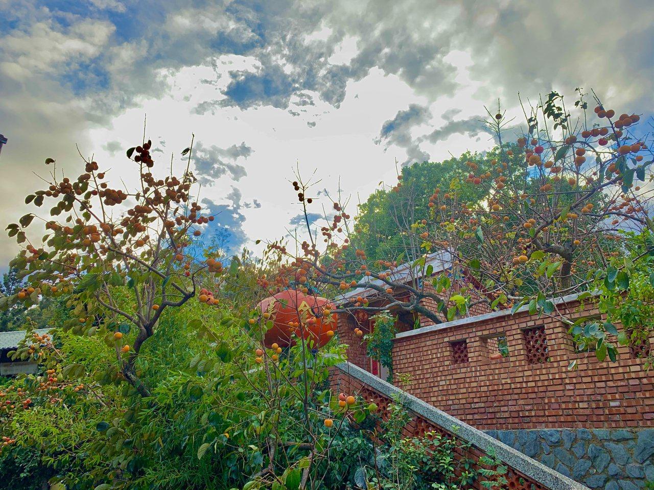 新埔鎮金漢柿餅目前轉型教育農園,希望透過課程讓民眾了解柿餅。 圖/巫鴻瑋 攝影