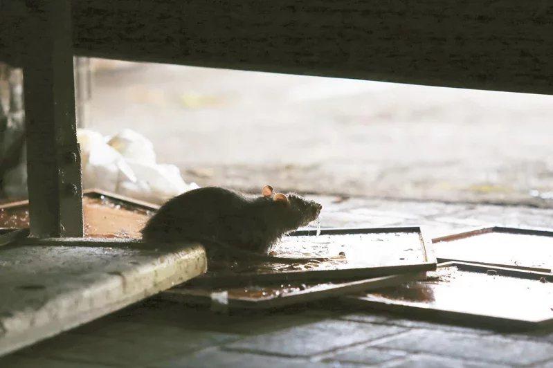 老鼠黏上黏鼠板到底要怎麼人道處理?引發網友討論。圖/本報資料照片