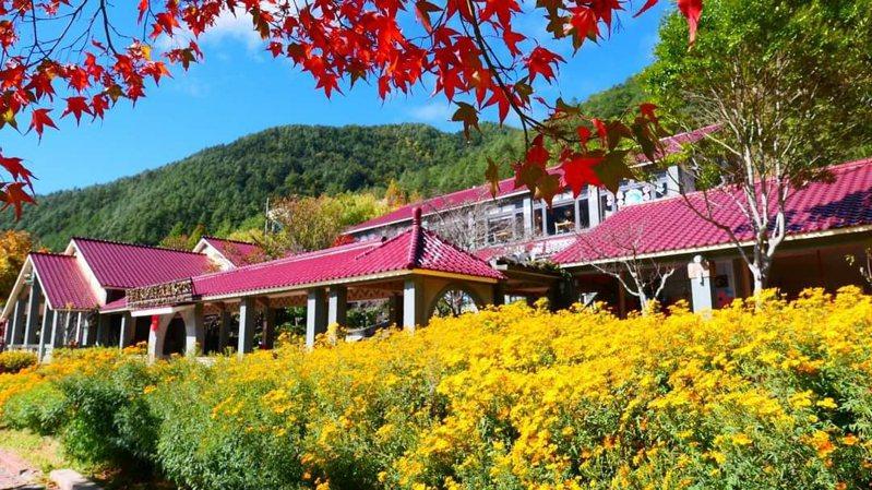 台中武陵農場的入口花園,目前整片金黃色的芳香萬壽菊盛開,是網美打卡不可錯過的隱藏版私房景點。圖/武陵農場提供