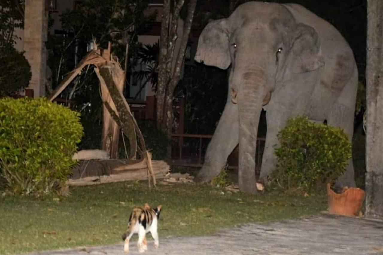 大象闖民宅找食物!貓咪挺身為主人守護家園 網讚:小英雄