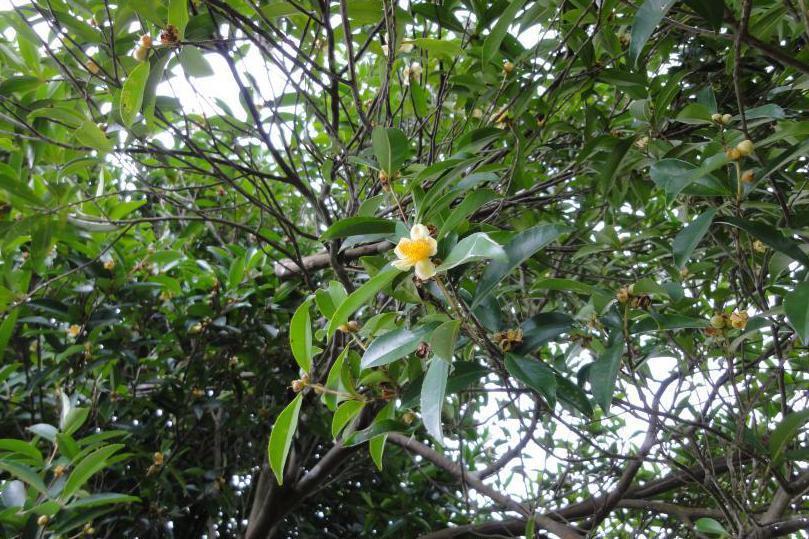 韓爾禮在《福爾摩沙植物名錄》書中列舉的第86種植物,標本編號「Henry123」,其實就是武威山烏皮茶。 圖/取自陳建忠(CC BY-SA)