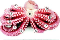 八爪多一爪!他捕魚驚見「九隻腳的章魚」 專家:第一次看到
