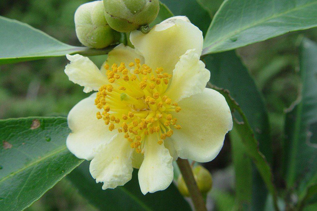 武威山烏皮茶擁有多重人生。在不同的時代,有不同的身分。 圖/台北植物園提供,陳建帆攝。