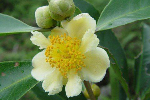 【植物園方舟計畫】影分身之「樹」:武威山烏皮茶