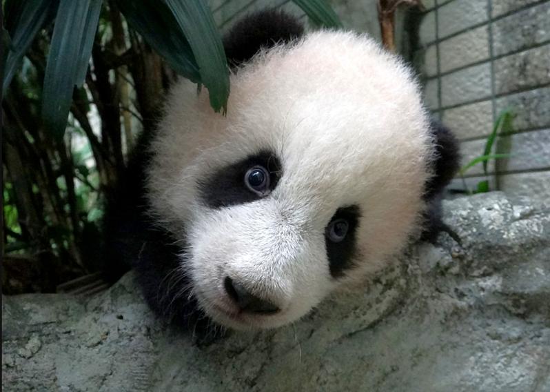 大貓熊圓寶已快滿5個月大,體重超過10公斤,最近不論體力、行動能力都明顯UP UP。圖/北市立動物園提供