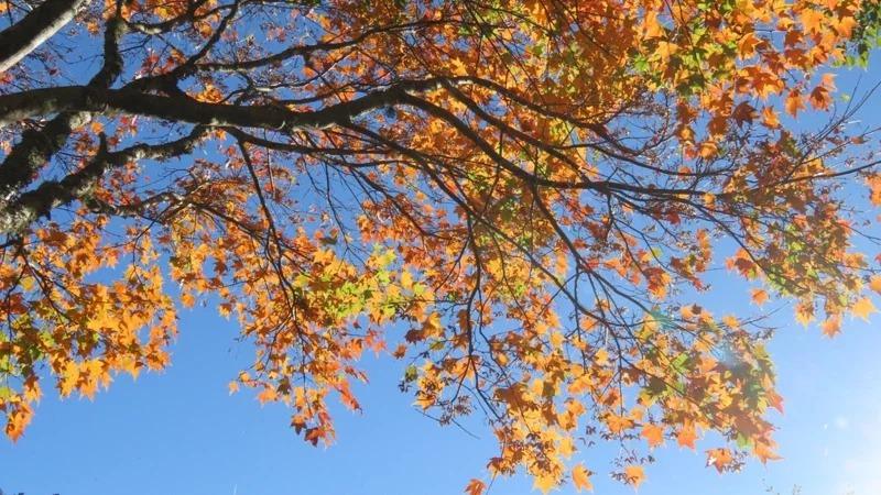三角楓,青楓,台灣紅榨槭轉楓紅,秋季限定美景動人。 圖/蘇家弘提供