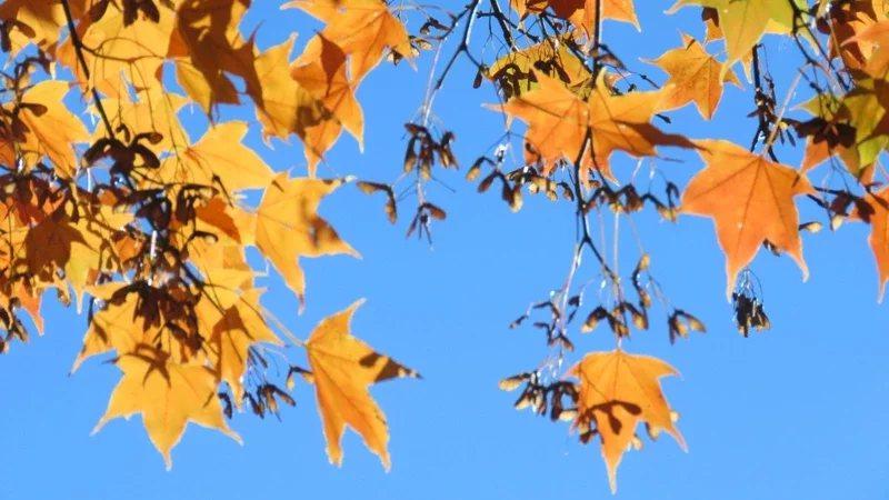 阿里山楓葉逐漸轉紅,呈現綠、黃、橘、紅交錯景緻,想要賞楓美景民眾可以上山。 圖/...