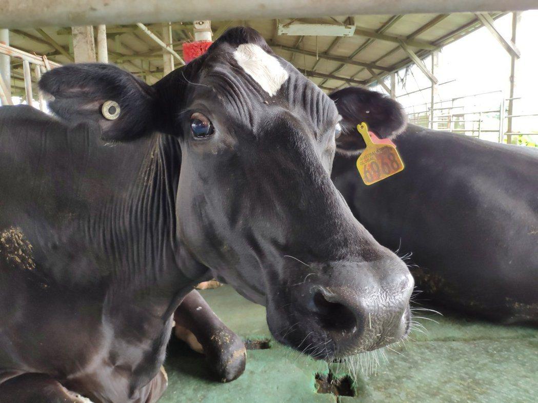 農委會表示,農業生產在全球溫室氣體排放上背負惡名,主要是因反芻動物消化過程中產生...