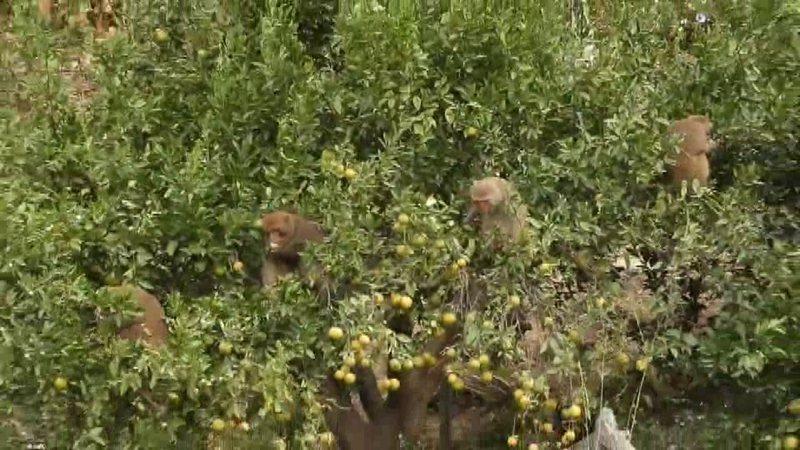 火炎山猴群,下山肆虐橘子園。圖/蔡玉清提供