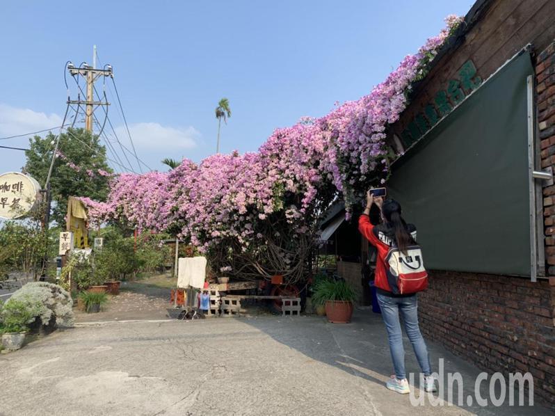 位在斗六鎮北路接萬年路轉角的早餐店開滿蒜香藤花,粉紫瀑布傾瀉而下,吸引路過民眾駐足拍照。記者陳苡葳/攝影