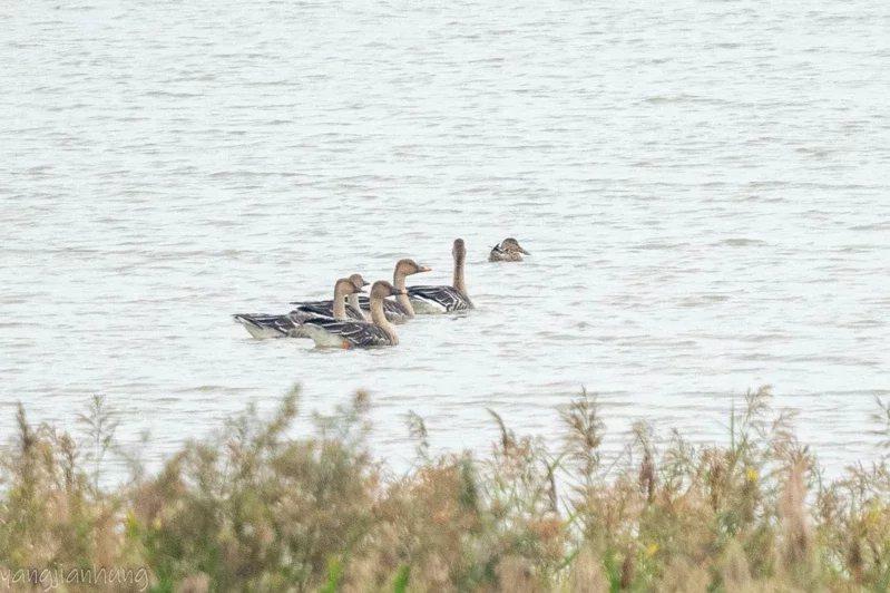 高雄茄萣濕地首度記錄到白額雁,鳥友拍下珍貴照片。  圖/茄萣觀光發展協會提供