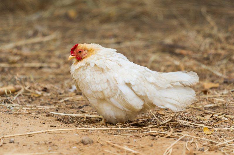 日本福岡縣宗像市一處養雞場的雞隻相繼死亡,驗出H5型禽流感病毒,將撲殺這處9萬多隻雞。 圖/ingimage