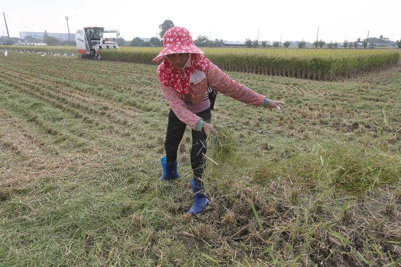 中央旱災應變中心決定嘉南一期稻區休耕,目前已規劃補償方案。記者劉學聖/攝影