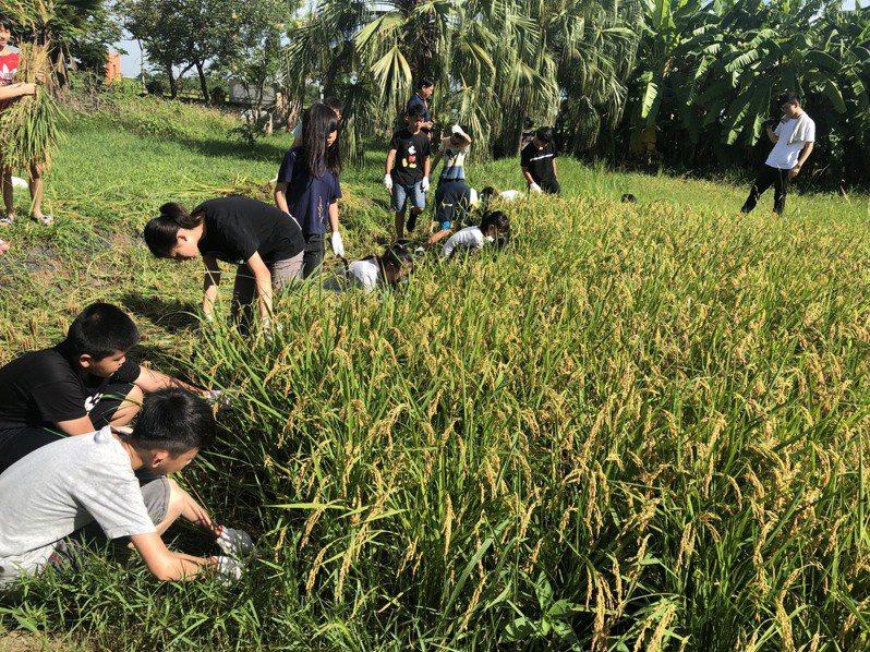 嘉南明年一期稻作確定停灌,衝擊地方,圖為台南市官田國小學生去年體驗割稻情形。圖/本報資料照