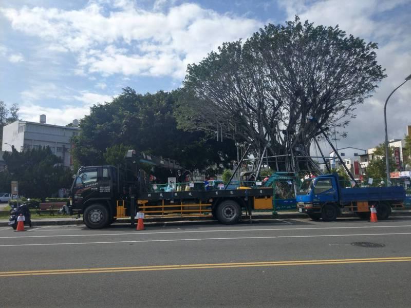 台東市區三角公園1棵逾60年老榕樹,去年確診感染褐根病後,縣府及市公所委託天蕊樹木保護公司展開外科手術救治。記者尤聰光/攝影